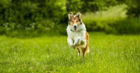 Lassie_hazater